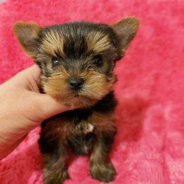Собаки - Йоркширский терьер маленький щенок, 0