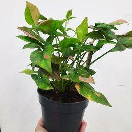 Комнатные растения - Сингониум Пинк Сплеш, 0