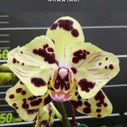 Комнатные растения - Орхидея  OX Sponge Bob (peloric - 2 eyes), 0
