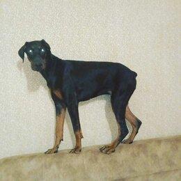 Собаки - Доберман , уши не купированы, 0