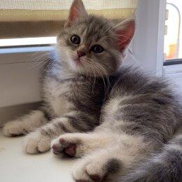 Кошки - Британский котёнок , 0