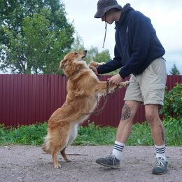 Собаки - Красавец Рыжий пес 2 г, 0