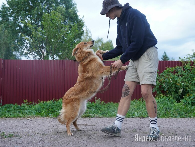 Красавец Рыжий пес 2 г по цене даром - Собаки, фото 0