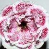 Глоксинии (излишки коллекции) по цене 30₽ - Комнатные растения, фото 15