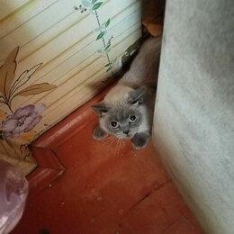 Кошки - Отдам в хорошие руки кошку британской породы. Кошечки 2 года. Зовут Софья. , 0