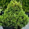 Ель обыкновенная по цене 8800₽ - Рассада, саженцы, кустарники, деревья, фото 1