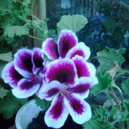 Комнатные растения - Королевская пеларгония империал, 0