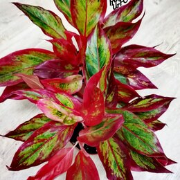 Комнатные растения - Аглаонема Red Flame (Красное пламя) , 0