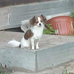 Животные - потеряна собака чихуахуа, 0
