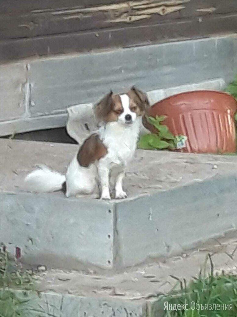 потеряна собака чихуахуа по цене 15000₽ - Животные, фото 0