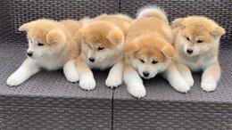 Собаки - Щенки Акита-ину , 0