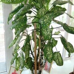 Комнатные растения - Цветок диффенбахия , 0