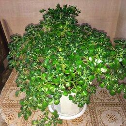 Комнатные растения - Аихризон (Дерево любви), 0