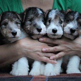 Собаки - Щенки Фокстерьера жесткошерстного, 0