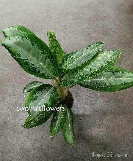 Аглаонема Милки Вэй  по цене 1799₽ - Комнатные растения, фото 0