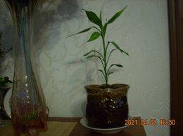 Комнатные растения - Бамбук в керамическом горшке., 0