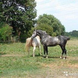 Лошади - Жеребец из Голландии, 0