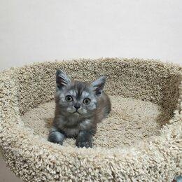 Кошки - Очаровательный котенок дымчатого оттенка в серебре, 0