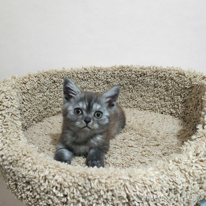 Очаровательный котенок дымчатого оттенка в серебре по цене 8000₽ - Кошки, фото 0