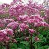 Ягодные и декоративные растения для Вашего сада по цене 150₽ - Рассада, саженцы, кустарники, деревья, фото 3