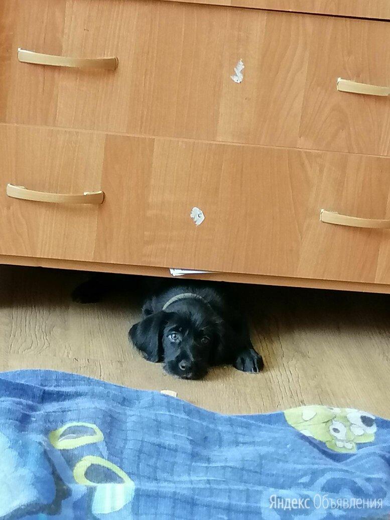 Дратхаар, девочка 2 месяца, хвостик не купирован стало жалко  по цене 4500₽ - Собаки, фото 0