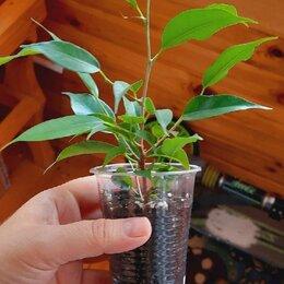 Комнатные растения - Фикус Бенджамина Наташа, 0