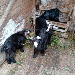 Сельскохозяйственные животные и птицы - Козы, 0