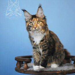Кошки - Котята мейн куны от крупных производителей., 0
