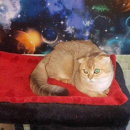 Кошки - Шотландская вислоухая скоттиш фолд ny25, 0