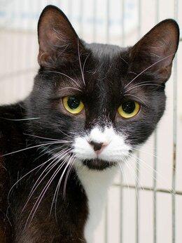 Кошки - Добрый и общительный молодой котик Нагетс, 0