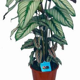 Комнатные растения - Калатея Вайт Стар, 0