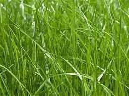 Товары для сельскохозяйственных животных - Семена трав для сенокосов, 0