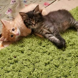 Кошки - Котята. Курильские бобтейлы, 0