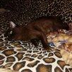 Бурманская кошка по цене 15000₽ - Кошки, фото 0