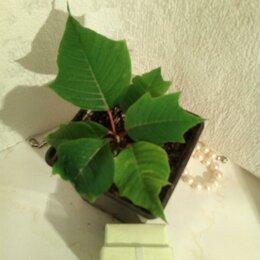 Комнатные растения - Пуансетия, 0