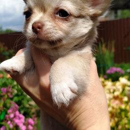 Собаки - Чихуахуа девочка премиум класса, 0