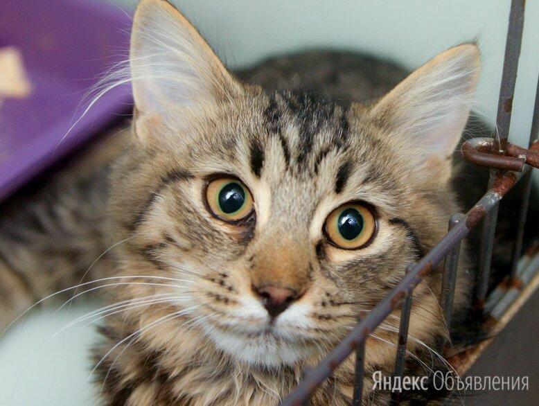 Котёнок-скромняжка Лумара по цене даром - Кошки, фото 0