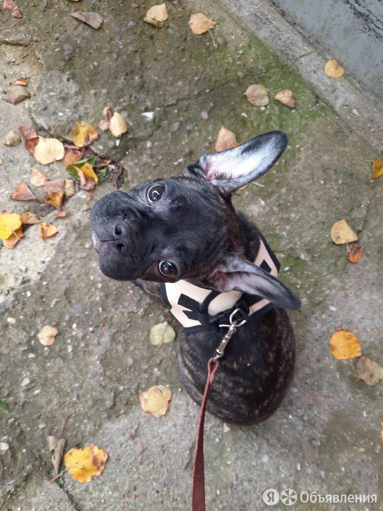 Девочка Французского бульдога  по цене 20000₽ - Собаки, фото 0