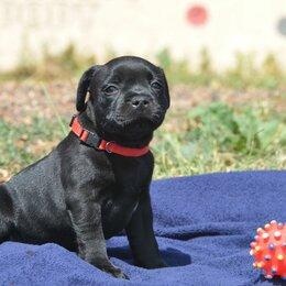 Собаки - Стаффордширский бультерьер, 0
