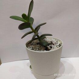 Комнатные растения - Суккуленты, кактус. , 0