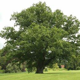 Рассада, саженцы, кустарники, деревья - Дуб, 0