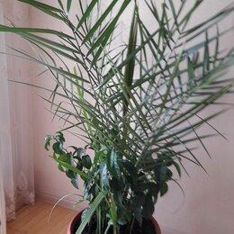 Комнатные растения - Пальма финик высота 1,6м, 0