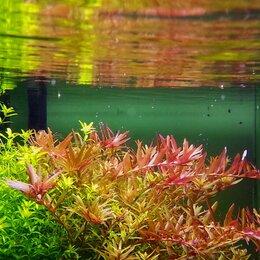 Растения для аквариумов и террариумов - Ротала индийская (Rotala indica), 0