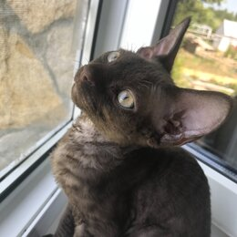 Кошки - Котёнок девон-рекс, 0