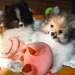 Собаки -  Померанский шпиц,патиколор, черный, 0