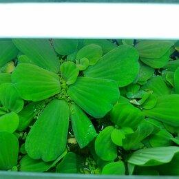 Растения для аквариумов и террариумов - Пистия телорезовидная, 0