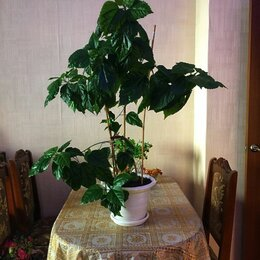 Комнатные растения - Гибискус , 0