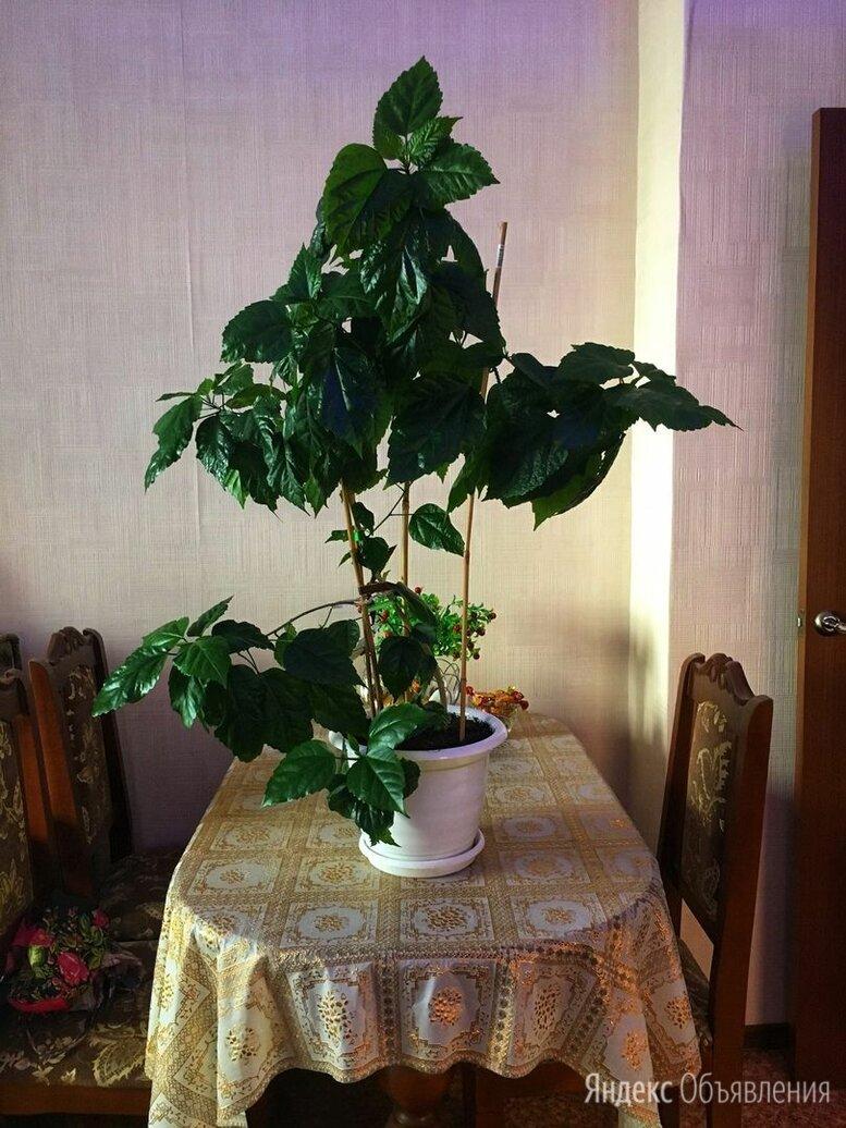 Гибискус  по цене 1550₽ - Комнатные растения, фото 0