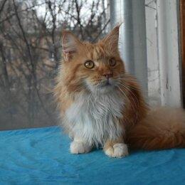 Кошки - Мейн-кун кошка. 2 года., 0