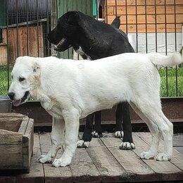 Собаки - Щенки среднеазиатской овчарки, 0